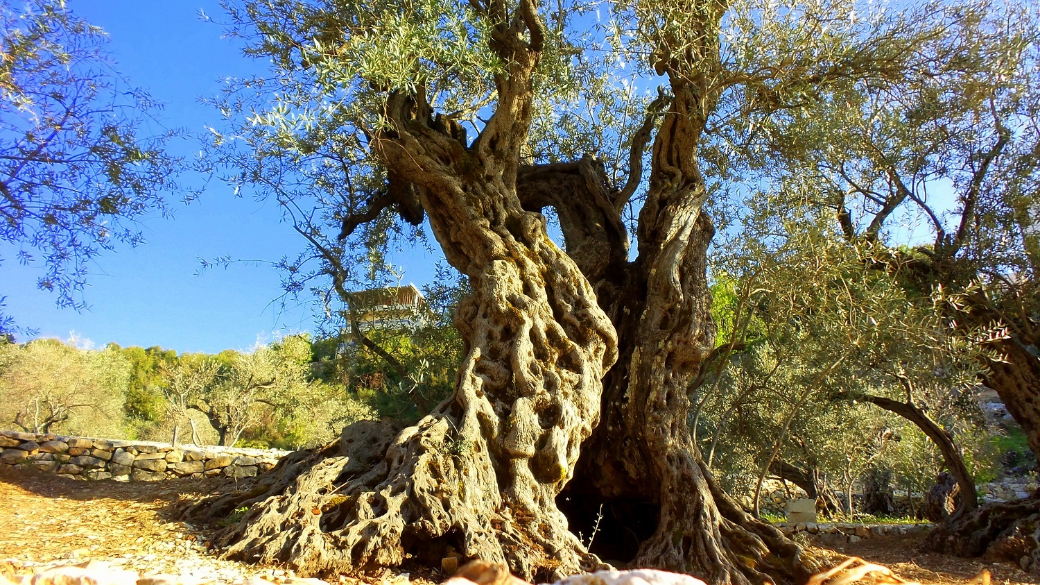 Olive Trees Of Noah Are Among The Oldest Olive Trees In